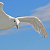 Seagull flight2 thumb